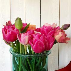 En yleensä raaski katkoa vaivalla (ja pienellä syksyisellä kiukulla) istutettuja sipulikukkia, mutta kaivan näiden tulppaanien kasvumaan kokonaan ylös. Onpahan aika ihania! ♥️ #katinoravanpesä #tulppaani #tulip #tulipa #tulipseason #spring_inbloom  #facethespring #bloomingseason #pakahdun #pursuepretty #flowersgivemepower  #flowerpower #moodforfloral #springmood #flower_perfection #botanicaldreamers #botanicalpickmeup #chooselovely #flowertherapy Flower Power, Watermelon, Fruit, Spring, Plants, Instagram, Food, Essen, Meals