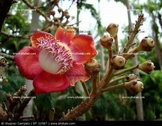 http://www.photaki.com/picture-couroupita-guianensis-flower-and-buttons_33987.htm