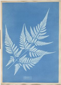 SFMOMA | Explore Modern Art | Our Collection | Anna Atkins | Ceylon