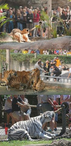 """The sad reality of tigers made to perform ....  Tiger tug-o-war! Zoo gives visitors the chance to test their strength against big cats. ~ Click through the large version for full-screen view (on a black background in Firefox), set your computer for full-screen. ~ Miks' Pics """"People ll"""" board @ http://www.pinterest.com/msmgish/people-ll/"""