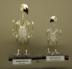 Raven versus crow skeleton   Photo: Museum of Osteology