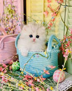 Baby Kittens, Cute Cats And Kittens, Kittens Cutest, Kitten Photos, Persian Kittens, Chinchilla, Doll Face, Cuddling, Fur Babies