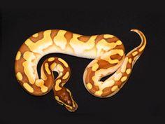 ENCHI LESSER SUGAR Ball Python  Snake