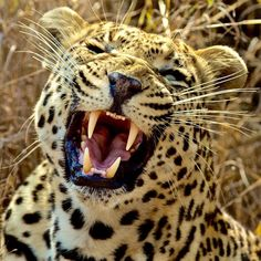 @natgeo @stevewinterphoto  Check out my NG Wild show on leopards Sunday Night January 31st.  Here is a leopard from South Africa.  I am on my way to LA to celebrate the 15th Anniversary of NG Channel tonight!! Happy Birthday NGC and NG WILD!  Im just finished shooting my worldwide #leopard story December 2015 @natgeo showcasing the worlds most adaptable but persecuted big cat. And for Nat Geo Wild a one hour TV program which premiers Jan 31st! From the wilds of #SouthAfrica to the heart of…