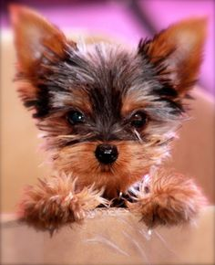 will you just look at that Yorkie cute face!! #dogs #yorkie I want one sooooo… #yorkshireterrier