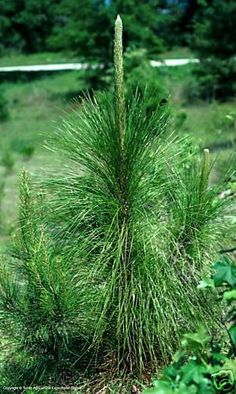 50 Long Leaf Pine Tree Seed The most by CountryClassicFarms
