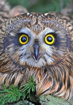 Focus! Attribution is unclear; could be Coby Hadas, on Flickr (who seems to collect, rather than photograph), or Gennady Dubin. Owl Photos, Owl Pictures, Amazing Pictures, Beautiful Owl, Animals Beautiful, Gorgeous Eyes, Amazing Eyes, Owl Bird, Pet Birds