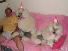 Just A Guy In Some Party Hats With His Poodles