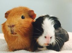Ceasar and Brutus are guinea pig friends This Little Piggy, Little Pets, Animal Babies, Baby Animals, Guinnea Pig, Baby Guinea Pigs, Small Animals, Little Critter, Needful Things