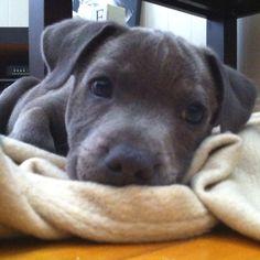 Cutest blue staffy puppy ever... Neyo
