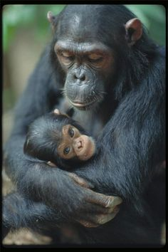 Chimp & Mother Glossy Poster Picture Photo Chimpanzee Gorillas Orangutans 722
