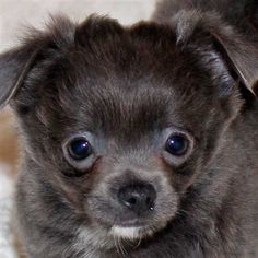Chihuahua Puppy for Sale in Boca Raton, South Florida.