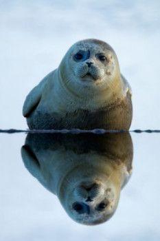 Menno Schaefer: Zeehond met weerspiegeling in het water