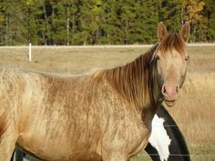 a brindle on champagne is rare! Rare Horse Colors, Horse Coat Colors, Rare Horses, Wild Horses, Brindle Horse, Horse Markings, Most Beautiful Horses, Horse Pattern, Horse Breeds