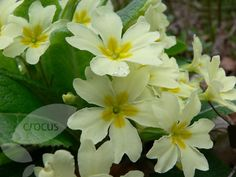 Buy primrose Primula vulgaris: Delivery by Crocus.co.uk