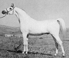 DAALDA EPIRUS (Gwarny x Etola, by *Naborr) 1968 grey stallion imported to the USA 1972 by Dr & Mrs David Hoffman; Sired 130 registered purebreds