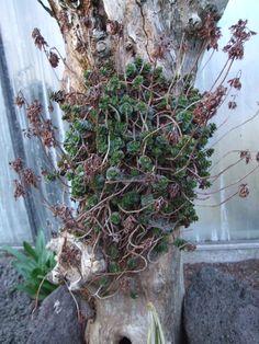 Sedum on an old tree