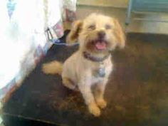 JUMPER is an adoptable adult neutered male Terrier Dog in Baldwin Park, CA.  .Pet ID A3307371. L.A. County Animal Care & Control: Baldwin Park