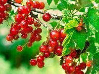 Black currant bush black currant plant rooted by