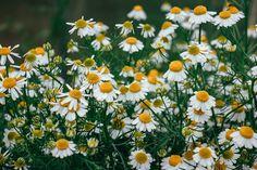 musetel planta medicinala-chamomile herb