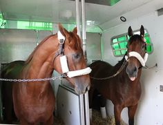 American Pharoah and Dortmund having some words about the Derby on the way to the Preakness
