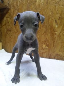 Italian Greyhound Puppy Facing Front