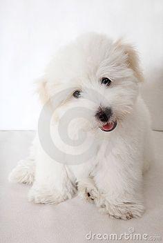 Pure Coton De Tuléar Puppy Stock Photo - Image: 10591890