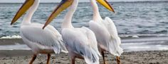 Fascinating Facts About Pelicans