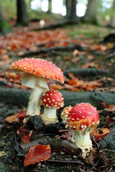 Toadstools (fly agarics)