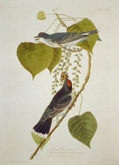 Audubon Birds, Birds Of America, John James Audubon, Animals Of The World, Library Of Congress, Botanical Illustration, American Artists, Beautiful Birds, Catcher