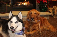 The girls went to the mall and posed for a picture. #goldenretriever  #husky #dogs