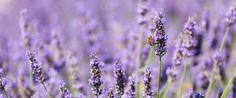 les 14 meilleures images du tableau fleurs de lavande sur pinterest lavender flowers lavender. Black Bedroom Furniture Sets. Home Design Ideas