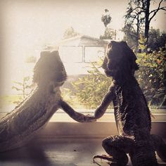 Bearded dragon true love - Cam says they are marrying each other.