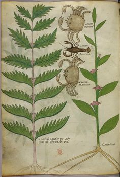 Codex Sloane 4016 is a 15th century Italian parchment manuscript belonging to a class of books known as herbals. These medicinal treatises recorded knowledge accumulated in the oral tradition about plants believed to possess therapeutic properties.