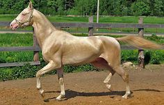 Akhal-Teke breed. From Turkey.