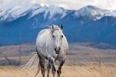 Horse Photograph, Western Horse Photograph White Horse and by ApplesAndOats on Etsy, $25.00