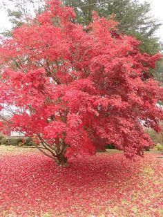 japanese maple   File:Acer japonicum (Japanese Maple).jpg - Wikimedia Commons