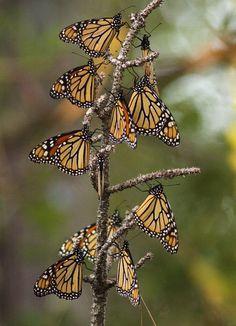 Amazing Monarch Migration Phenomenon