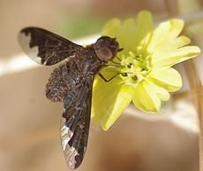 Sinuous Bee Fly (Hemipenthes sinuosa) A parasite of parasitic bees such as Banchus and Ophion and parasitic flies like  tachinids - grid24_6