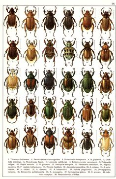 "G.G. Yakobson (1905-1915) - ""Beetles of Russia"": table 34"