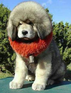 Big fluffy puppy