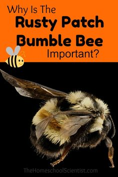 Rusty patched bumble bee facts for kids & adults with pictures, information & video. Endangered bumblebee in the USA. Diet, habitat, conservation & more. Rare Species, Endangered Species, Bee Facts For Kids, Bee Farm, Save The Bees, Bees Knees, Bee Keeping, Habitats, Wildlife