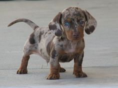 I want this dapple doxie!!!