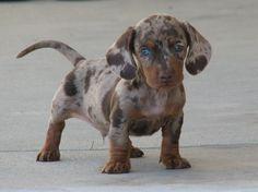 dapple doxie I. Want. It. Love the blue eyes!