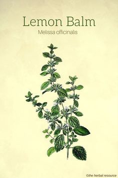 Lemon Balm Herb Uses, Benefits and Side Effects