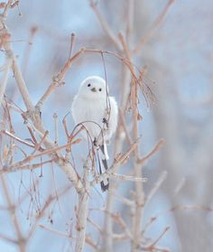 """The Shima-Enaga is a type of long-tailed tit that lives only in Hokkaido. Unlike the Northern long-tailed tits in the rest of Japan, this one doesn't have brown """"eyebrows"""" – its face is completely white."""