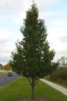 Two Different Cleveland Pear Tree   Cleveland Select Ornamental Pear