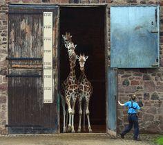 Varias jirafas salen de su casa en el zoológico de Chester (Inglaterra).