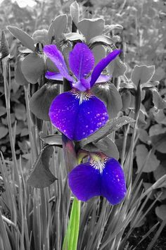 color splash / purple and green Purple Iris, Shades Of Purple, Love Flowers, Beautiful Flowers, Purple Flowers, 10e Anniversaire, Color Mixing, Color Pop, Color Splash Photo