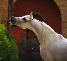 arabian ~ So regal!